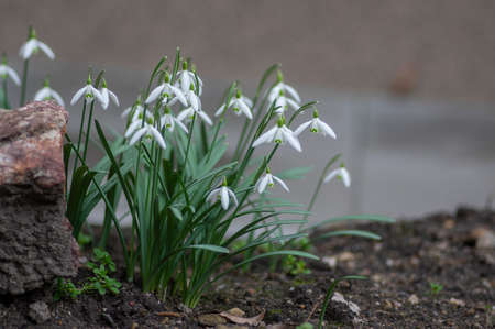 Galanthus nivalis common snowdrop early springtime flowering plant, group of small white flowers in bloom in the garden in brown soil