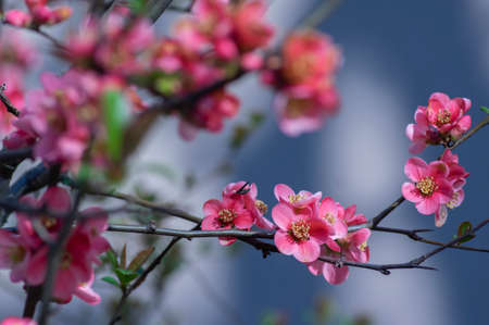 Chaenomeles japonica japanese maules quince flowering shrub, beautiful pink flowers in bloom on springtime branches, ornamental bush Standard-Bild