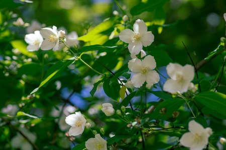 Philadelphus coronarius sweet mock-orange white flowers in bloom on shrub branches, flowering English dogwood wild ornamental plant, green leaves