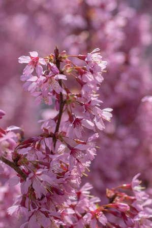 Prunus okame flowering early spring ornamental tree, beautiful small pink flowers in bloom in daylight