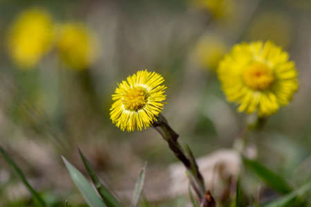 Tussilago farfara medicinal ground springtime flowering herb, group of yellow healthy flowers on stems in sunlight in bloom