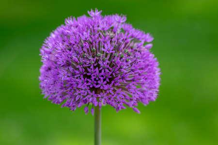 Allium hollandicum flowering springtime plant, group of purple persian ornamental onion flowers in bloom, colorful ball