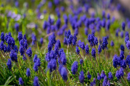 Muscari armeniacum cultivated spring grape hyacinth flowers in bloom, bunch of dark blue flowering plants, green leaves and stem