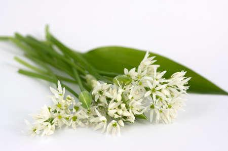 Allium ursinum wild bears garlic flowers in bloom, white rmasons buckrams flowering plants and green edible  leaves isolated on white background