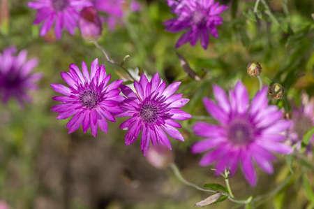 Xeranthemum annuum violet immortelle flowers in bloom, group of flowering plants in the garden, green background Standard-Bild