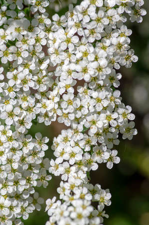 Spiraea cinerea white flowering plant branches, Gray Grefsheim beautiful ornamental springtime flowers in bloom with green leaves