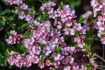 Prunus tenella dwarf Russian Almond pink flowers in bloom, beautiful ornamental plant in bloom with green leaves Standard-Bild