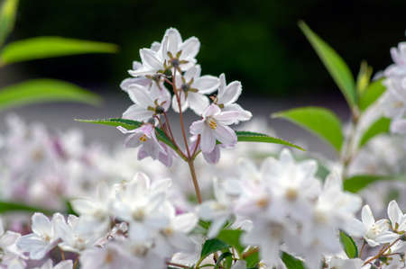 Deutzia gracilis romantic bright white flowering plant, bunch of amazing and beautiful slender flowers on shrub branches, green leaves Standard-Bild