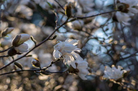 Star Magnolia stellata early spring flowering shrub, beautiful flowers with bright white tepals on branches in bloom Standard-Bild