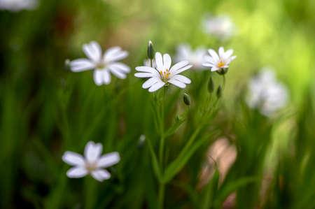 Rabalera Stellaria holostea greater stitchwort perennial flowers in bloom, group of white flowering addersmeat starwort plants on green background