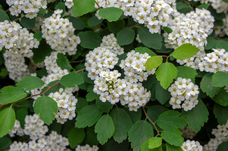 Spiraea vanhouttei meadowsweet ornamental shrub in bloom, group of bright white flowering flowers on branches, green leaves Standard-Bild