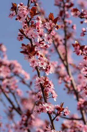 Canadian black plum Prunus nigra light pink flowers in bloom, beautiful flowering ornamental shrub with brown red leaves on branches in sunlight