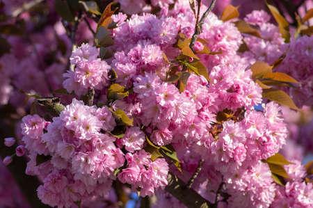 Prunus serrulata Japanese cherry tree double flower cultivation called sakura or taihaku in bloom, flowering oriental cherry and leaves Standard-Bild
