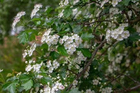 Crataegus laevigata white flowering branches, beautiful wild tree in bloom, green leaves Standard-Bild