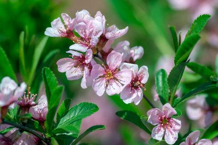 Prunus tenella dwarf Russian Almond pink flowers in bloom, beautiful ornamental plant in bloom, lilac petals