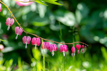 Dicentra spectabilis pink bleeding hearts in bloom on the branches, flowering plant in springtime garden, romantic flowers, green leaves