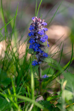 Ajuga reptans blue bugle flowering sprintime plants, group of bugleweed st. Lawrence carpet weed flowers in bloom
