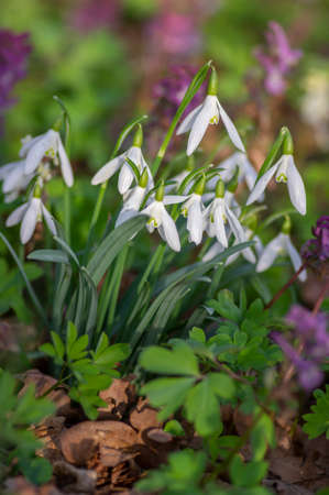 Galanthus nivalis common snowdrop and purple Corydalis cava Hollowroot flowering plants, group of flowers in bloom on the meadow in sunlight