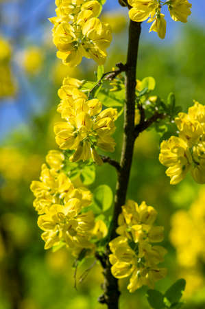 Laburnum anagyroides golden rain chain ornamental shrub branches in bloom, flowering small tree with bright beautiful yellow flowers and green leaves, against blue sky