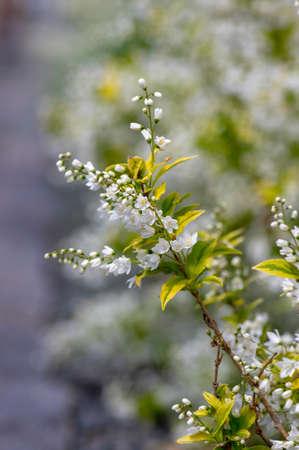 Deutzia gracilis duncan Chardonnay pearls white flowering shrub, beautiful ornamental flowers in bloom, yellow green leaves on bush branches