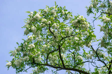 Robinia pseudoacacia ornamental tree in bloom, bright white flowering bunch of flowers, green leaves on branches