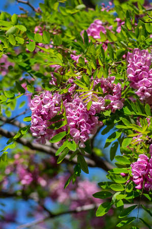 Robinia pseudoacacia ornamental tree in bloom, purple robe cultivation flowering bunch of flowers, green leaves in sunlight against blue sky