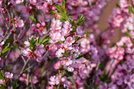 Prunus tenella dwarf Russian Almond pink flowers in bloom, beautiful ornamental plant in bloom with green leaves Banque d'images
