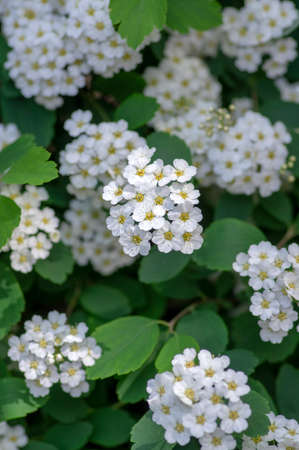 Spiraea vanhouttei meadowsweet ornamental shrub in bloom, group of bright white flowering flowers on branches, green leaves Banque d'images