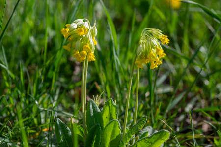 Primula veris cowslip yellow flowering plant, primrose flowers in cluster in bloom, green leaves and stem