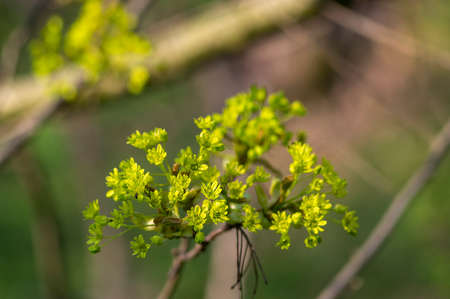 Acer platanoides Norway maple tree branches in bloom, springtime bright color yellow flowering plant, green leaves Banque d'images