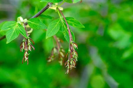 Acer negundo manitoba boxelder maple female red purple white flowers, detail of flowering branches, green leaves Banque d'images