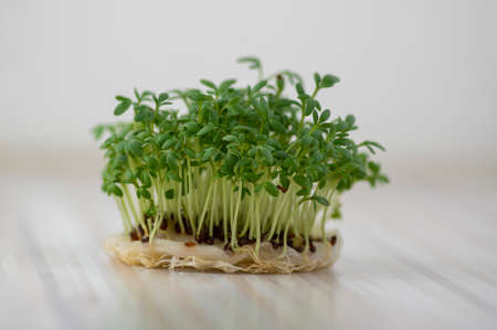 Fresh lepidium sativum growing on facial cotton swab on light stripped table, looks like small tropical island, tasty and healthy edible green leaves herb