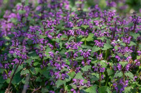 Lamium purpureum wild pink flowering purple dead-nettle flowers in bloom, group of flowering plants, green leaves