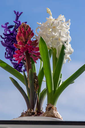 Hyacinthus orientalis ornamental beautiful springtime flowering plant, group of colorful bright flowers in bloom against blue sky Banque d'images