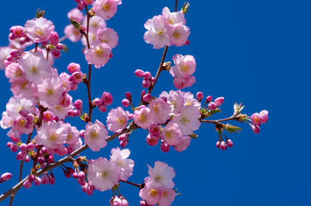 Prunus sargentii accolade sargent cherry flowering tree branches, beautiful groups light pink petal flowers in bloom and small buds in sunlight against blue sky