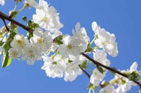 Prunus cerasus flowering tree flowers, group of beautiful white petals tart dwarf cherry flowers in bloom against blue sky in sunlight