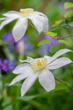 Bright white flowering large petal clematis flowers, beautiful virgins bower leather climbing plants in bloom, green leaves and bud Banque d'images