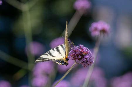 Verbena bonariensis vervain purpletop flowering plant with white black amazing rare pear-tree butterfly scarce swallowtail Iphiclides podalirius