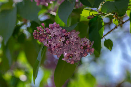 Syringa vulgaris violet purple flowering bush, groups of scented flowers on branches in bloom, common wild uncultivated lilac tree, green leaves in daylight