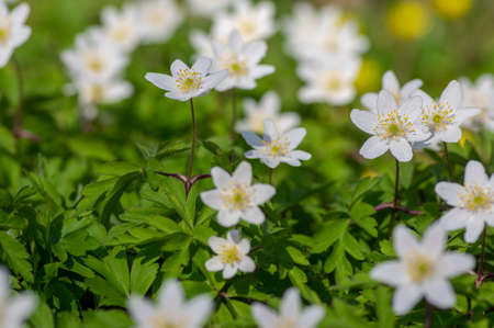Anemonoides nemorosa wood anemone white flower in bloom, springtime flowering bunch of beautiful wild plants