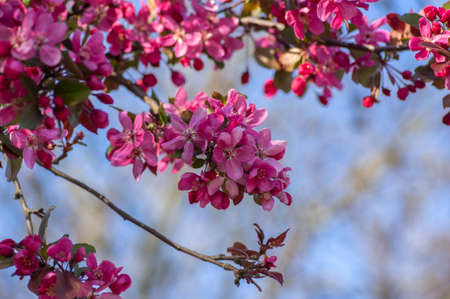 Ornamental cultivated malus apple tree plant flowering during springtime, toringo scarlet bright purple leaves and pink flowers in bloom