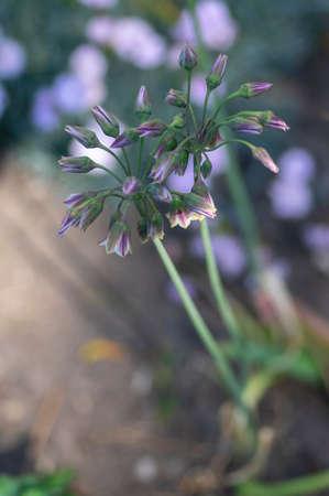 Allium siculum honey sicilian lily garlic flowers in bloom, beautiful springtime ornamental flowering plant, small bells Banque d'images