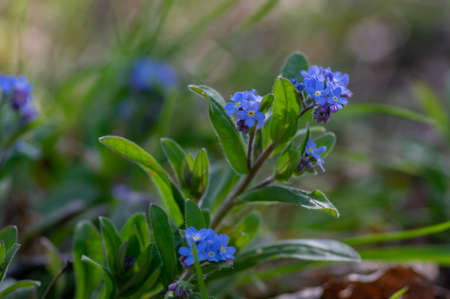 Myosotis sylvatica wood forget-me-not beautiful flowers in bloom, wild plants flowering in forests, green leaves