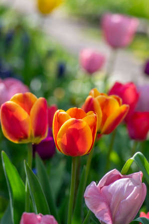 Amazing garden field with tulips of various bright rainbow color petals, beautiful bouquet of colors in sunlight daylight, green stem and leaves