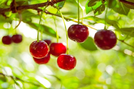 Branch of red ripe cherries