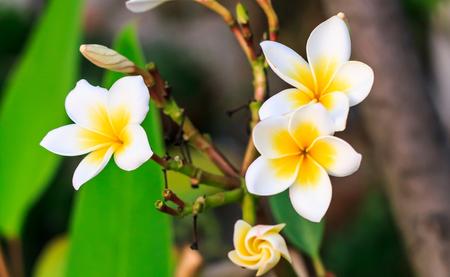 White Plumeria spp. (frangipani flowers, Pagoda tree)