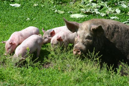 piglets: Pig with piglets Stock Photo