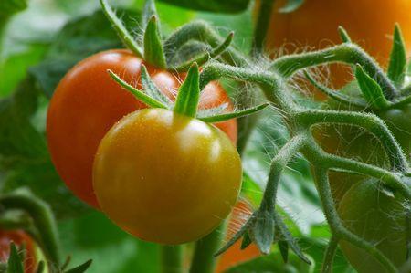赤いトマト 写真素材