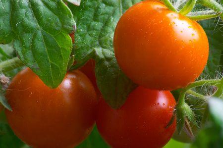 Rode tomaten Stockfoto