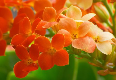 Flowers of red kalanchoe Stock Photo